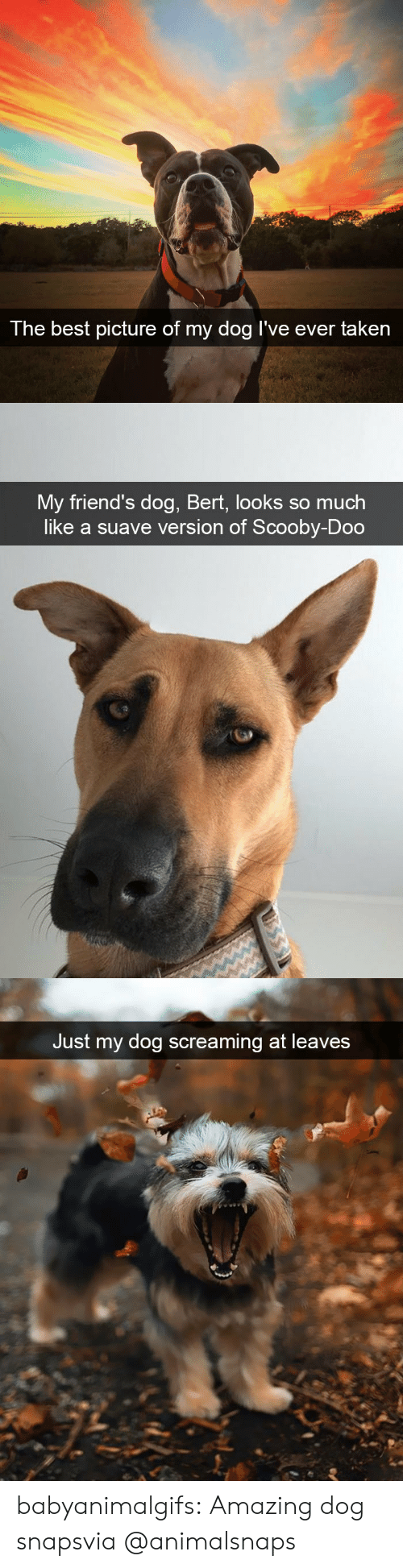 leaves: The best  picture of my dog I've ever taken   My friend's dog, Bert, looks so much  like a suave version of Scooby-Doo   Just my dog screaming at leaves babyanimalgifs:  Amazing dog snapsvia @animalsnaps​