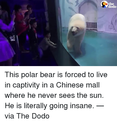 Going Insane: the  dodo This polar bear is forced to live in captivity in a Chinese mall where he never sees the sun.  He is literally going insane. —via The Dodo