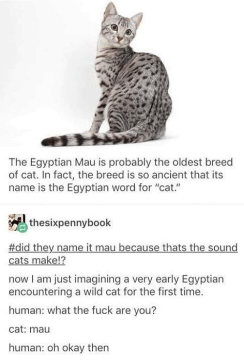 "imagining: The Egyptian Mau is probably the oldest breed  of cat. In fact, the breed is so ancient that its  name is the Egyptian word for ""cat.""  thesixpennybook  #did they name it mau because thats the sound  12  cats make!?  now I am just imagining a very early Egyptian  encountering a wild cat for the first time.  human: what the fuck are you?  cat: mau  human: oh okay then"