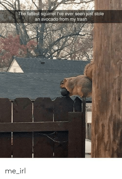Trash, Avocado, and Squirrel: The fattest squirrel I've ever seen just stole  an avocado from my trash me_irl