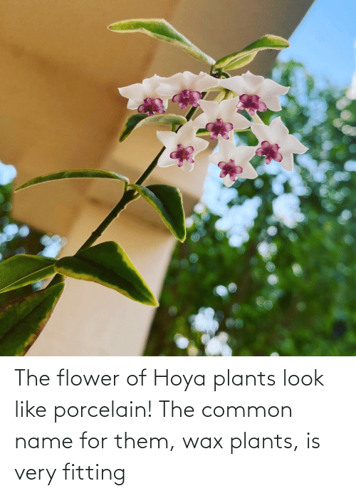 wax: The flower of Hoya plants look like porcelain! The common name for them, wax plants, is very fitting