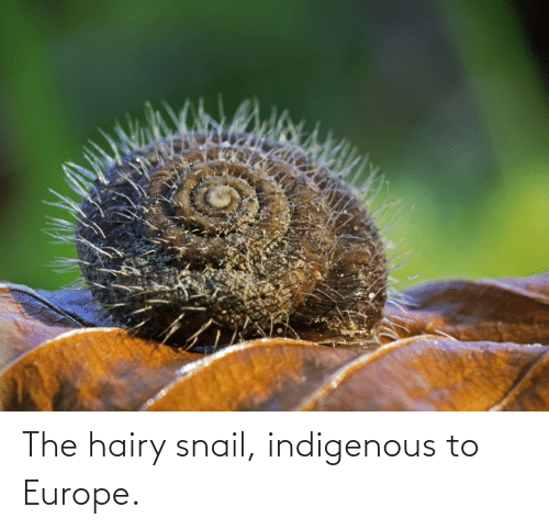 indigenous: The hairy snail, indigenous to Europe.