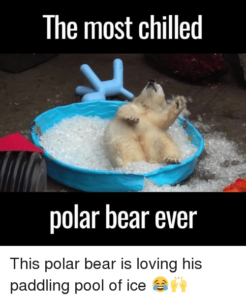 Paddling: The most chilled  polar bear ever This polar bear is loving his paddling pool of ice 😂🙌