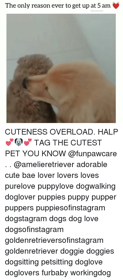 5 Am, Bae, and Cute: The only reason ever to get up at 5 am  @funpawcare CUTENESS OVERLOAD. HALP 💕🐶💕 TAG THE CUTEST PET YOU KNOW @funpawcare . . @amelieretriever adorable cute bae lover lovers loves purelove puppylove dogwalking doglover puppies puppy pupper puppers puppiesofinstagram dogstagram dogs dog love dogsofinstagram goldenretrieversofinstagram goldenretriever doggie doggies dogsitting petsitting doglove doglovers furbaby workingdog