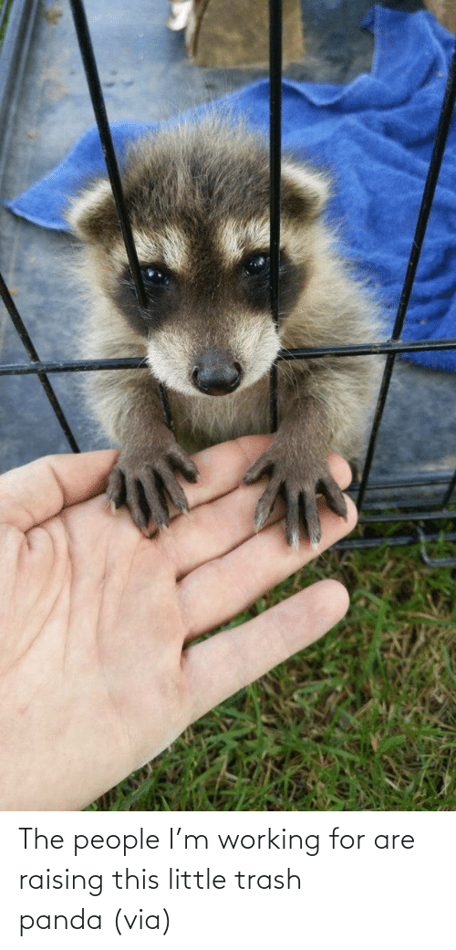 working: The people I'm working for are raising this little trash panda (via)