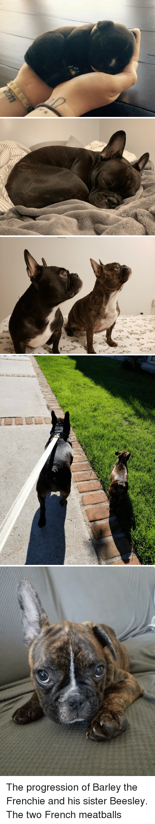 At First Sight: The progression of Barley the Frenchie and his sister Beesley. The two French meatballs