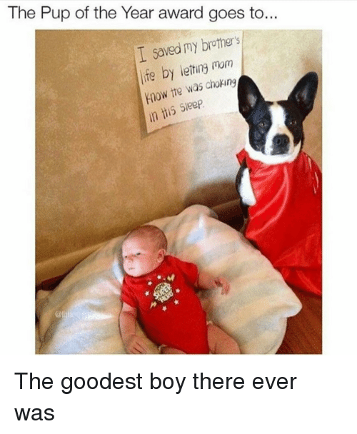 Life, Sleep, and Mom: The Pup of the Year award goes to...  I saved my brothers  life by leting mom  Ynow the was choking  is Sleep <p>The goodest boy there ever was</p>