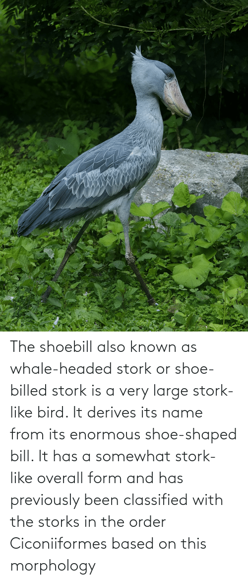 classified: The shoebill also known as whale-headed stork or shoe-billed stork is a very large stork-like bird. It derives its name from its enormous shoe-shaped bill. It has a somewhat stork-like overall form and has previously been classified with the storks in the order Ciconiiformes based on this morphology