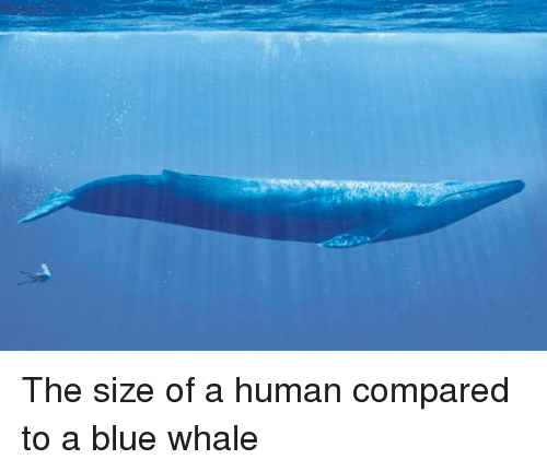 Blue, Human, and Blue Whale: The size of a human compared to a blue whale