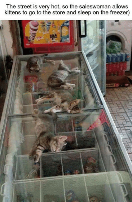 Memes, Kittens, and Sleep: The street is very hot, so the saleswoman allows  kittens to go to the store and sleep on the freezer)  iBORG