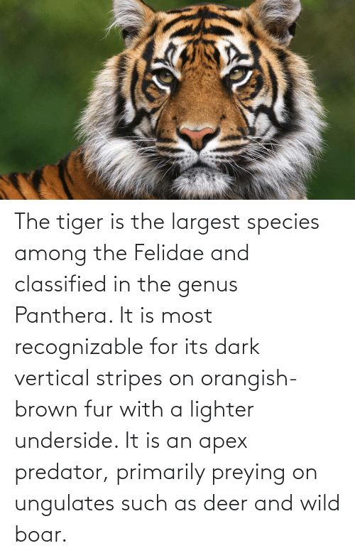 classified: The tiger is the largest species among the Felidae and classified in the genus Panthera. It is most recognizable for its dark vertical stripes on orangish-brown fur with a lighter underside. It is an apex predator, primarily preying on ungulates such as deer and wild boar.