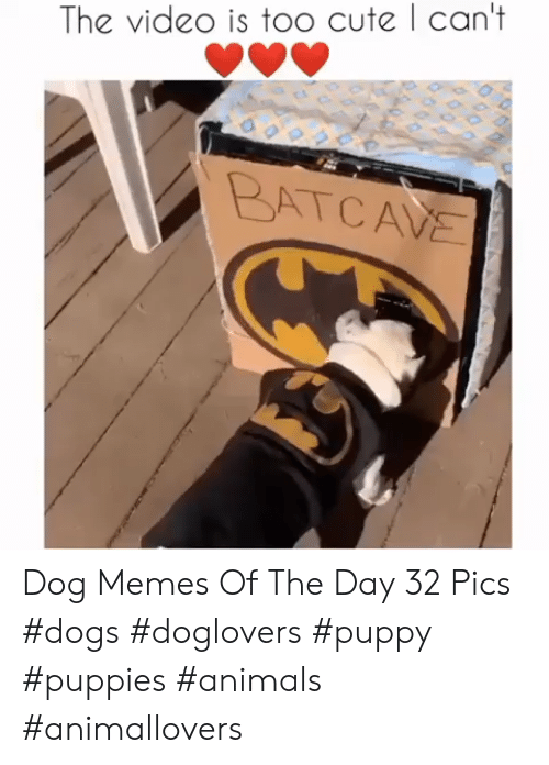 Animals, Cute, and Dogs: The vide0 is too cute | can't  BATCAVE Dog Memes Of The Day 32 Pics #dogs #doglovers #puppy #puppies #animals #animallovers