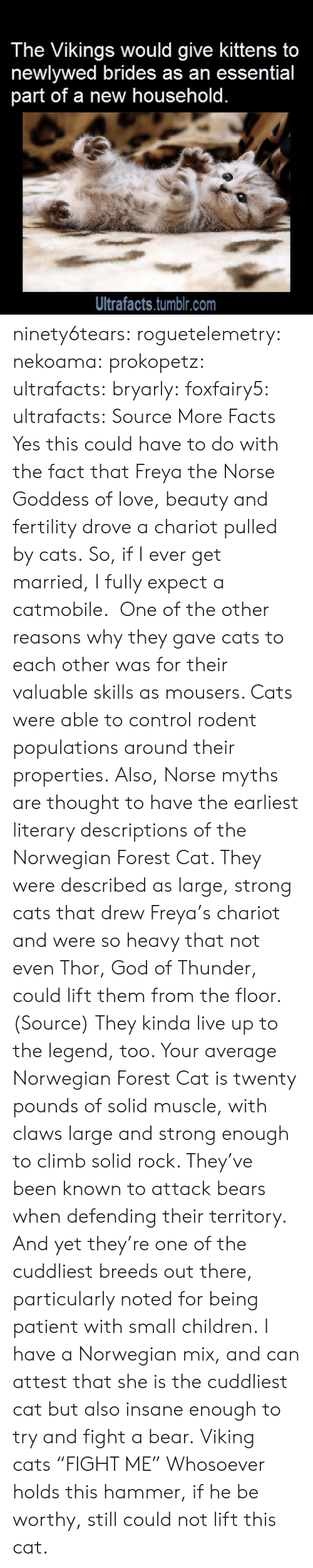 "Anaconda, Cats, and Children: The Vikings would give kittens to  newlywed brides as an essential  part of a new household.  Ultrafacts.tumblr.com ninety6tears:  roguetelemetry:   nekoama:   prokopetz:   ultrafacts:  bryarly:  foxfairy5:  ultrafacts:  Source More Facts  Yes this could have to do with the fact that Freya the Norse Goddess of love, beauty and fertility drove a chariot pulled by cats.  So, if I ever get married, I fully expect a catmobile.   One of the other reasons why they gave cats to each other was for their valuable skills as mousers. Cats were able to control rodent populations around their properties. Also, Norse myths are thought to have the earliest literary descriptions of the Norwegian Forest Cat. They were described as large, strong cats that drew Freya's chariot and were so heavy that not even Thor, God of Thunder, could lift them from the floor. (Source)  They kinda live up to the legend, too. Your average Norwegian Forest Cat is twenty pounds of solid muscle, with claws large and strong enough to climb solid rock. They've been known to attack bears when defending their territory. And yet they're one of the cuddliest breeds out there, particularly noted for being patient with small children.   I have a Norwegian mix, and can attest that she is the cuddliest cat but also insane enough to try and fight a bear.   Viking cats ""FIGHT ME""   Whosoever holds this hammer, if he be worthy, still could not lift this cat."