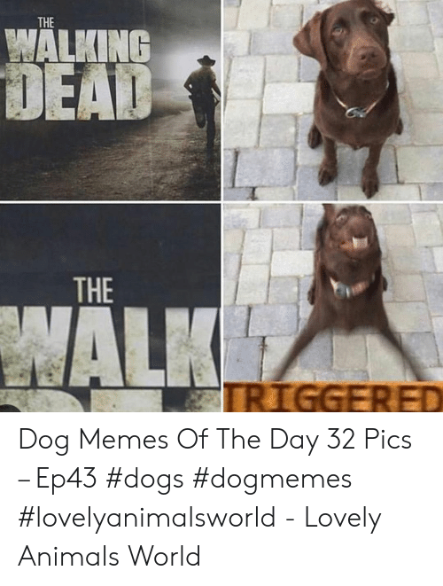 Animals, Dogs, and Memes: THE  WALKING  THE Dog Memes Of The Day 32 Pics – Ep43 #dogs #dogmemes #lovelyanimalsworld - Lovely Animals World