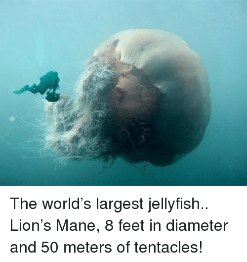 Tentacl: The world's largest jellyfish.. Lion's Mane, 8 feet in diameter and 50 meters of tentacles!