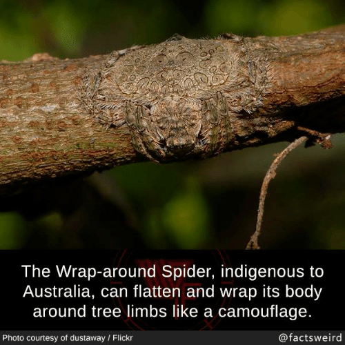 indigenous: The Wrap-around Spider, indigenous to  Australia, can flatten and wrap its body  around tree limbs like a camouflage.  Photo courtesy of dustaway Flickr  @factsweird