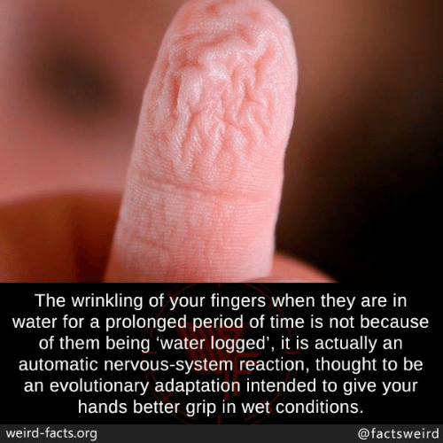 Facts, Memes, and Period: The wrinkling of your fingers when they are in  water for a prolonged period of time is not because  of them being 'water logged', it is actually an  automatic nervous-system reaction, thought to be  an evolutionary adaptation intended to give your  hands better grip in wet conditions.  weird-facts.org  @factsweird