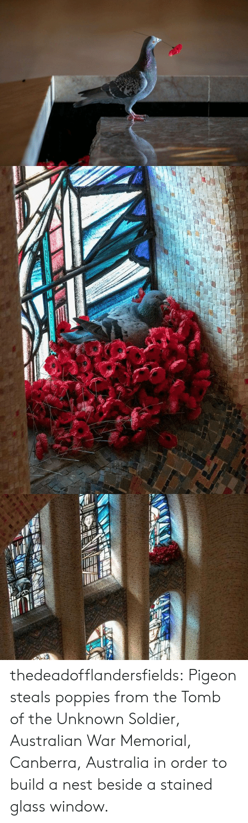 build a: thedeadofflandersfields:  Pigeon steals poppies from the Tomb of the Unknown Soldier, Australian War Memorial, Canberra, Australia in order to build a nest beside a stained glass window.