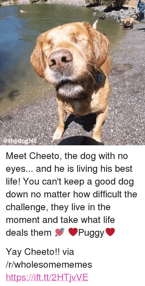 """Life, Best, and Good: @thedogist  Meet Cheeto, the dog with no  eyes... and he is living his best  life! You can't keep a good dog  down no matter how difficult the  challenge, they live in the  moment and take what life  deals them Puggy <p>Yay Cheeto!! via /r/wholesomememes <a href=""""https://ift.tt/2HTjvVE"""">https://ift.tt/2HTjvVE</a></p>"""