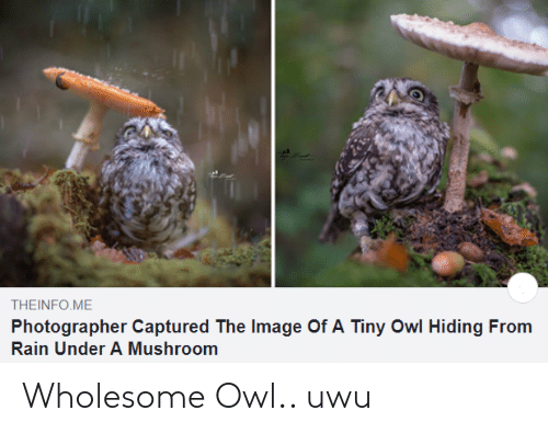 captured: THEINFO ME  Photographer Captured The Image Of A Tiny Owl Hiding From  Rain Under A Mushroom Wholesome Owl.. uwu