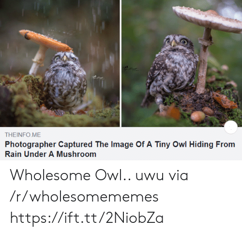 owl: THEINFO ME  Photographer Captured The Image Of A Tiny Owl Hiding From  Rain Under A Mushroom Wholesome Owl.. uwu via /r/wholesomememes https://ift.tt/2NiobZa