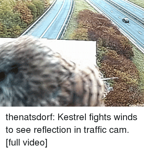 Traffic, Tumblr, and youtube.com: thenatsdorf: Kestrel fights winds to see reflection in traffic cam. [full video]