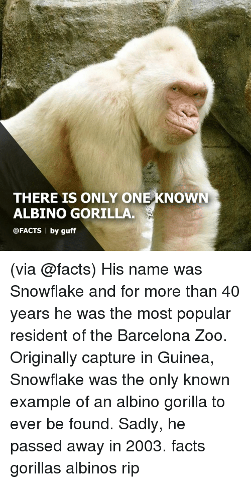 Barcelona, Facts, and Memes: THERE IS ONLY ONE KNOWN  ALBINO GORILLA  @FACTS 1 by guff (via @facts) His name was Snowflake and for more than 40 years he was the most popular resident of the Barcelona Zoo. Originally capture in Guinea, Snowflake was the only known example of an albino gorilla to ever be found. Sadly, he passed away in 2003. facts gorillas albinos rip