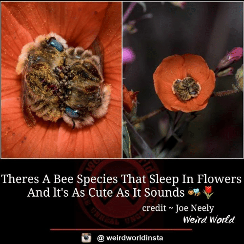 Cute, Memes, and Weird: Theres A Bee Species That Sleep In Flowers  And it's As Cute As It Sounds  credit~Joe Neely  Weird World  @ weirdworldinsta