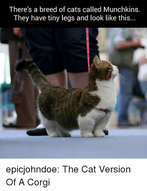 Cats, Corgi, and Tumblr: There's a breed of cats called Munchkins.  They have tiny legs and look like this... epicjohndoe:  The Cat Version Of A Corgi