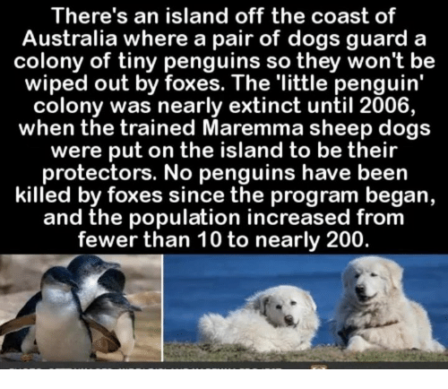 Bailey Jay, Dogs, and Australia: There's an island off the coast of  Australia where a pair of dogs guard a  colony of tiny penguins so they won't be  wiped out by foxes. The 'little penguin'  colony was nearly extinct until 2006,  when the trained Maremma sheep dogs  were put on the island to be their  protectors. No penguins have been  killed by foxes since the program began,  and the population increased from  fewer than 10 to nearly 200.