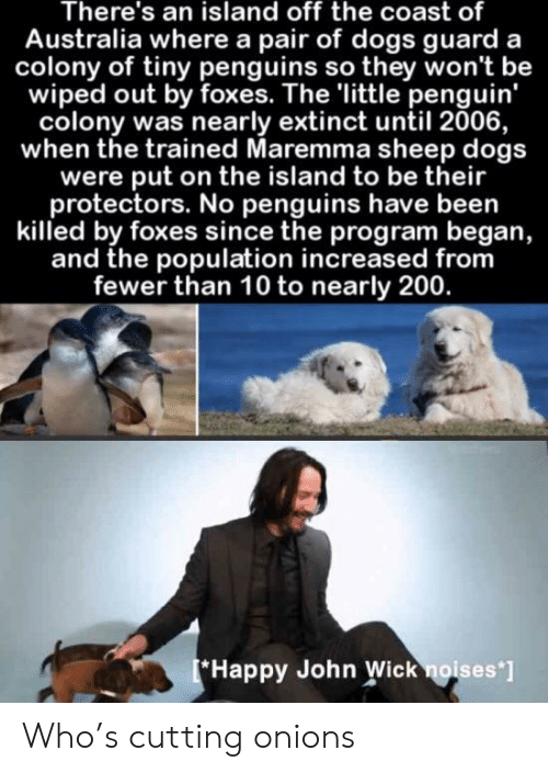 Fewer: There's an island off the coast of  Australia where a pair of dogs guard a  colony of tiny penguins so they won't be  wiped out by foxes. The 'little penguin'  colony was nearly extinct until 2006,  when the trained Maremma sheep dogs  were put on the island to be their  protectors. No penguins have been  killed by foxes since the program began,  and the population increased from  fewer than 10 to nearly 200.  Happy John Wick noises'] Who's cutting onions