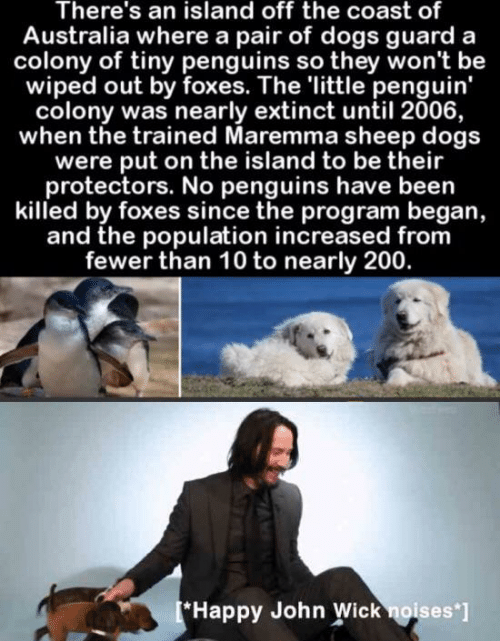 Fewer: There's an island off the coast of  Australia where a pair of dogs guard  colony of tiny penguins so they won't be  wiped out by foxes. The 'little penguin'  colony was nearly extinct until 2006,  when the trained Maremma sheep dogs  were put on the island to be their  protectors. No penguins have been  killed by foxes since the program began,  and the population increased from  fewer than 10 to nearly 200.  [*Happy John Wick noises ]