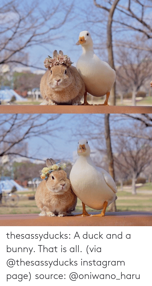 Duck: thesassyducks: A duck and a bunny. That is all. (via @thesassyducks instagram page) source:@oniwano_haru