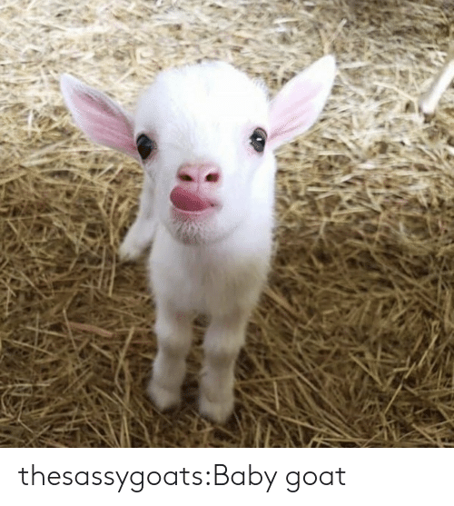 Baby Goat: thesassygoats:Baby goat