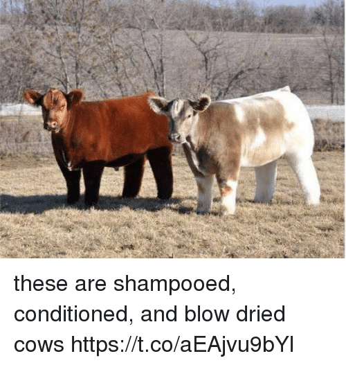 Girl Memes, Blow, and  Cows: these are shampooed, conditioned, and blow dried cows https://t.co/aEAjvu9bYl