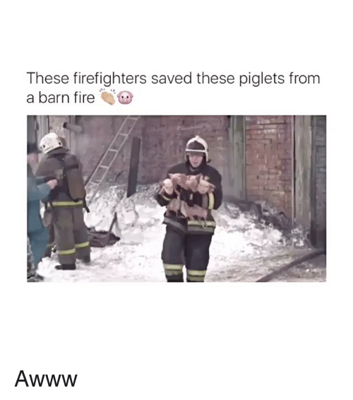 piglets: These firefighters saved these piglets from  a barn fire Awww