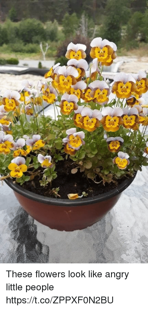 Flowers, Angry, and Faces-In-Things: These flowers look like angry little people https://t.co/ZPPXF0N2BU