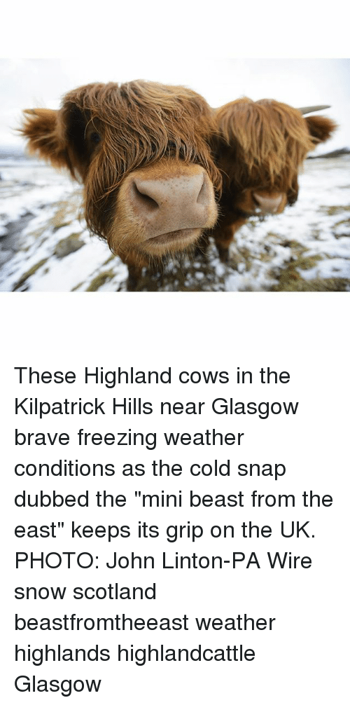 "Memes, Brave, and Scotland: These Highland cows in the Kilpatrick Hills near Glasgow brave freezing weather conditions as the cold snap dubbed the ""mini beast from the east"" keeps its grip on the UK. PHOTO: John Linton-PA Wire snow scotland beastfromtheeast weather highlands highlandcattle Glasgow"
