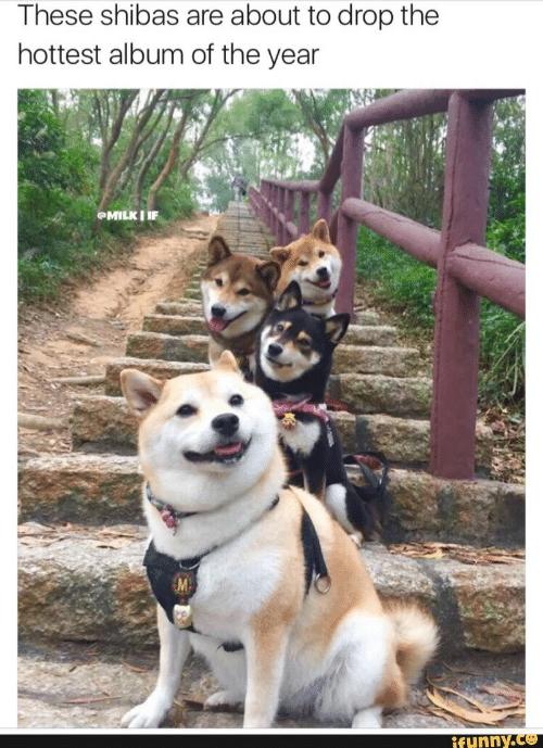 Funny, Album, and Drop: These shibas are about to drop the  hottest album of the year  funny.ce
