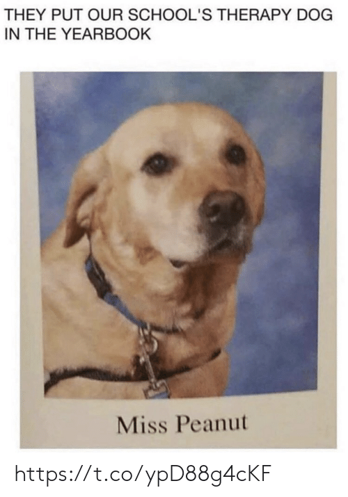 Memes, 🤖, and Dog: THEY PUT OUR SCHOOL'S THERAPY DOG  IN THE YEARBOOK  Miss Peanut https://t.co/ypD88g4cKF