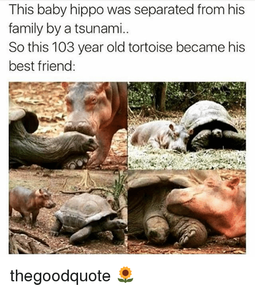 Hippoe: This baby hippo was separated from his  family by a tsunami.  So this 103 year old tortoise became his  best friend thegoodquote 🌻