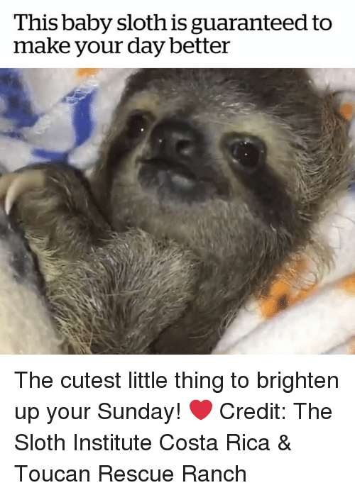 Costa Rica, Sloth, and Sunday: This baby sloth is guaranteed to  make your day better The cutest little thing to brighten up your Sunday! ❤️  Credit: The Sloth Institute Costa Rica & Toucan Rescue Ranch