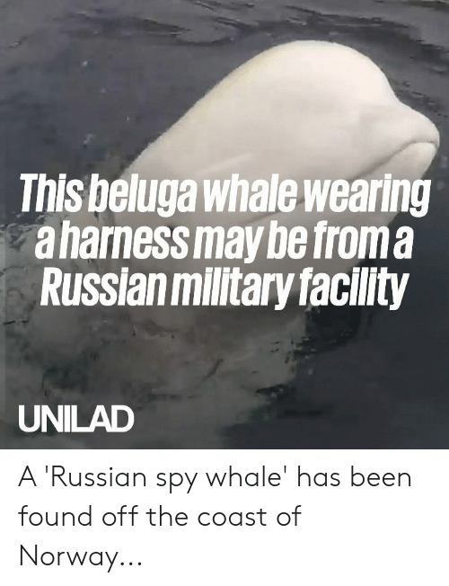 Dank, Norway, and Military: This beluga whale wearing  aharnessmay be froma  Russian military facility  UNILAD A 'Russian spy whale' has been found off the coast of Norway...
