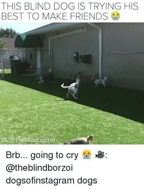 Dogs, Friends, and Memes: THIS BLIND DOG IS TRYING HIS  BEST TO MAKE FRIENDS  IG othebindborzoi Brb... going to cry 😭 🎥: @theblindborzoi dogsofinstagram dogs
