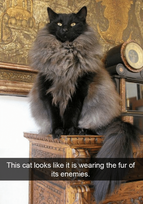 Memes, Enemies, and 🤖: This cat looks like it is wearing th  e fur of  ts enemies