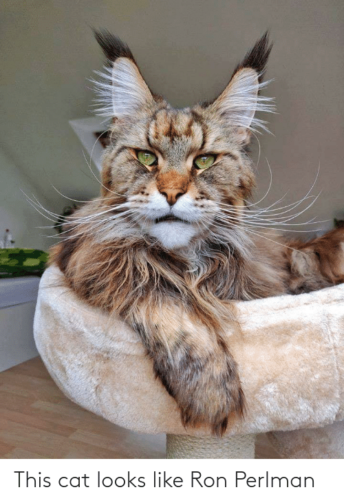 this: This cat looks like Ron Perlman