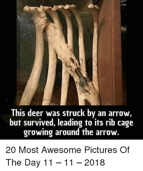 Deer, Arrow, and Pictures: This deer was struck by an arrow,  but survived, leading to its rib cage  growing around the arrow. 20 Most Awesome Pictures Of The Day 11 – 11 – 2018