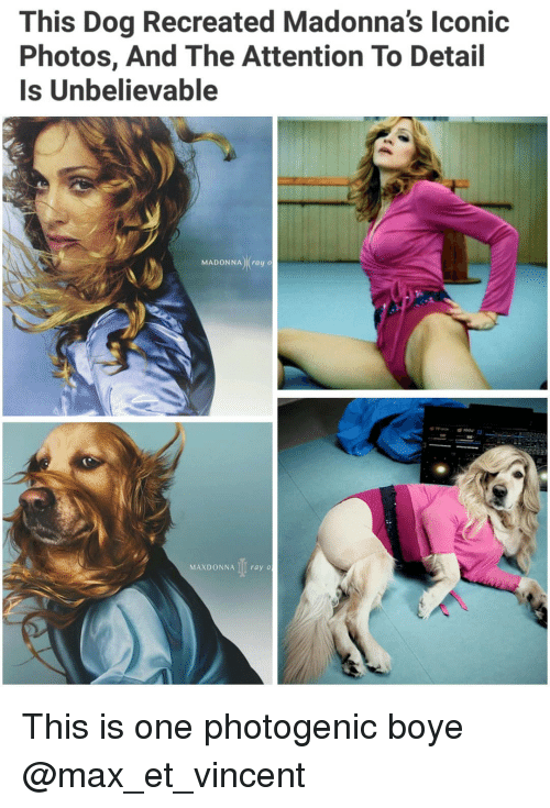 Madonna, Memes, and 🤖: This Dog Recreated Madonna's lconic  Photos, And The Attention To Detail  Is Unbelievable  MADONNA) (ray o  MAXDONNA I ray o This is one photogenic boye @max_et_vincent