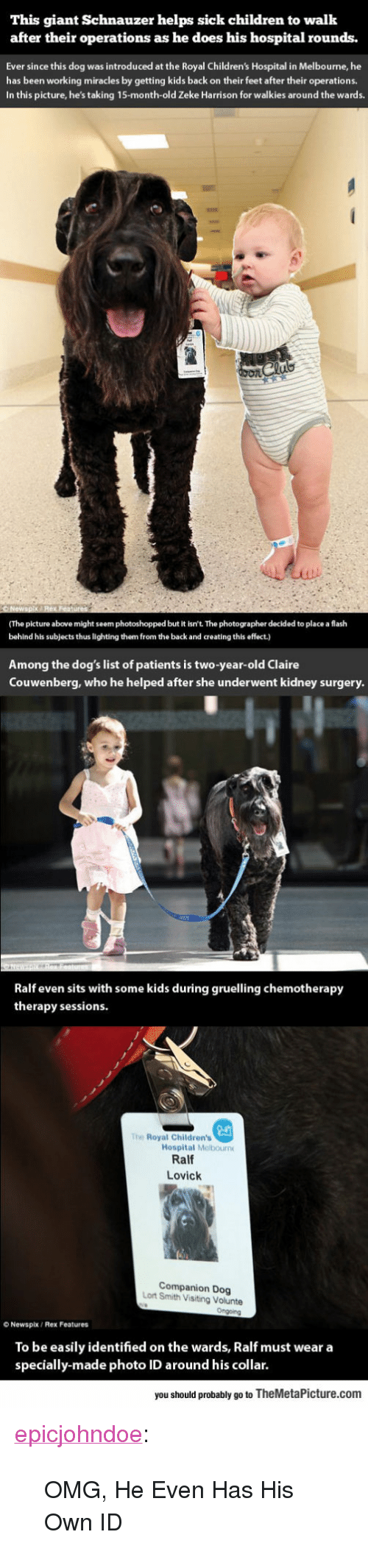 """Children, Dogs, and Omg: This giant Schnauzer helps sick children to walk  after their operations as he does his hospital rounds.  Ever since this dog was introduced at the Royal Children's Hospital in Melbourne, he  has been working miracles by getting kids back on their feet after their operations.  In this picture, he's taking 15-month-old Zeke Harrison for walkies around the wards.  (The picture above might seem photoshopped but it isn't. The photographer decided to place a flash  behind his subjects thus lighting them from the back and creating this effect.)  Among the dog's list of patients is two-year-old Claire  Couwenberg, who he helped after she underwent kidney surgery  Ralf even sits with some kids during gruelling chemotherapy  therapy sessions  The Royal Children's  Hospital Melbourn  Ralf  Lovick  Companion Dog  Lort Smith Visiting Volunte  O Newspix/ Rex Features  To be easily identified on the wards, Ralf must wear a  specially-made photo ID around his collar.  you should probably go to TheMetaPicture.com <p><a href=""""https://epicjohndoe.tumblr.com/post/170360145056/omg-he-even-has-his-own-id"""" class=""""tumblr_blog"""">epicjohndoe</a>:</p>  <blockquote><p>OMG, He Even Has His Own ID</p></blockquote>"""