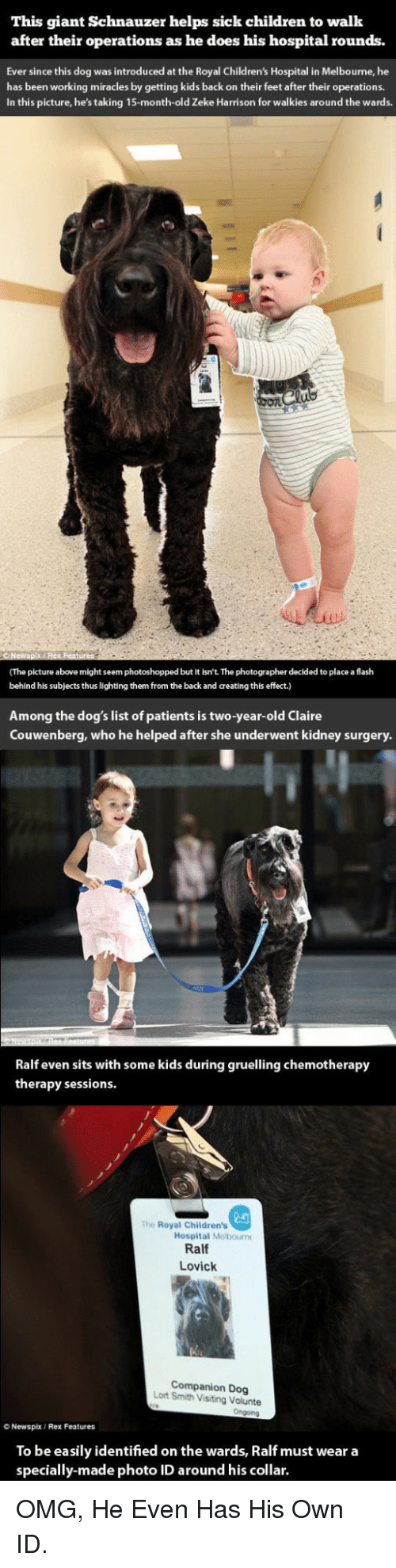 Schnauzer: This giant Schnauzer helps sick children to walk  after their operations as he does his hospital rounds.  Ever since this dog was introduced at the Royal Children's Hospital in Melbourne, he  has been working miracles by getting kids back on their feet after their operations  In this picture, he's taking 15-month-old Zeke Harrison for walkies around the wards.  (The picture above might seem photoshopped but it isn't The photographer decided to place a flash  behind his subjects thus lighting them from the back and creating this effect.)  Among the dog's list of patients is two-year-old Claire  Couwenberg, who he helped after she underwent kidney surgery.  Ralf even sits with some kids during gruelling chemotherapy  therapy sessions.  2a  Hospital Melbourn  The Royal Children's  Ralf  Lovick  Companion Dog  Lort Smith Visiting Volunte  O Newspx  Rex Features  To be easily identified on the wards, Ralf must wear a  specially-made photo ID around his collar. <p>OMG, He Even Has His Own ID.</p>